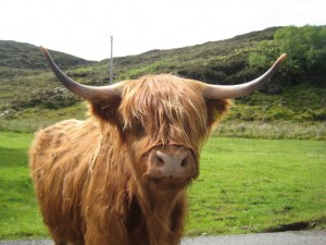 Highland Cows abound on Skye