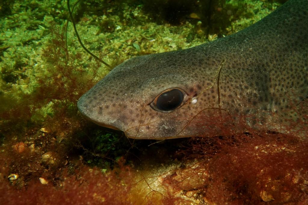 Dogfish, South Skye