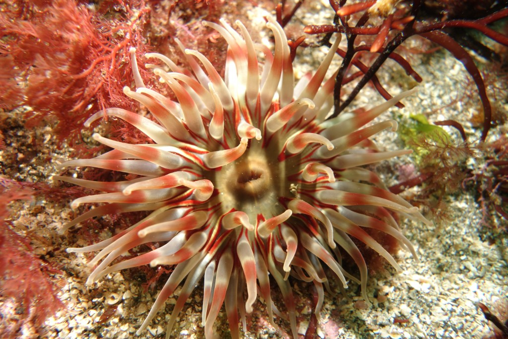 Dahlia anemone, South Skye