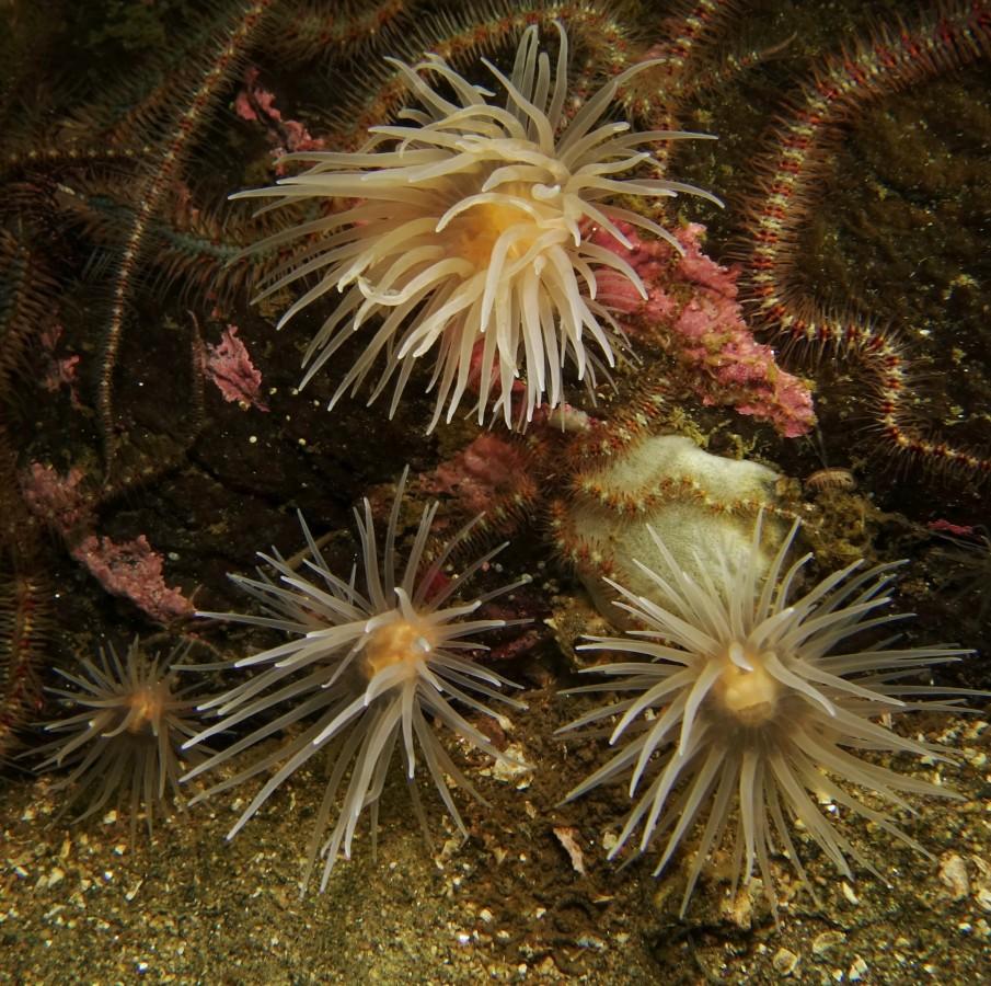 Sea loch anemones in Loch Duich