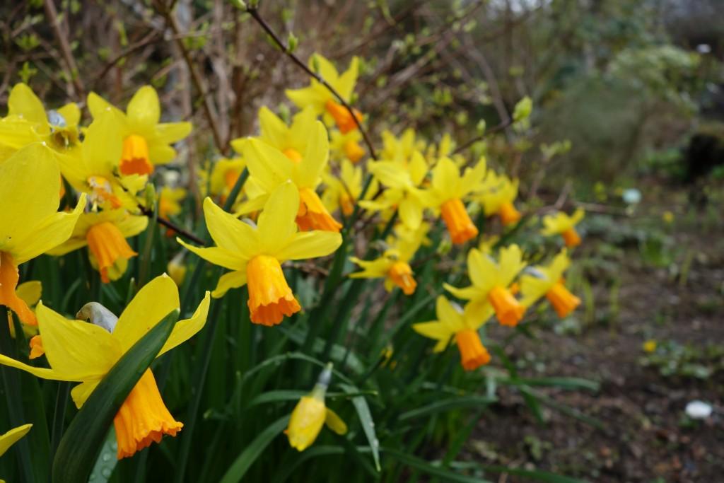 Daffodils at Dunvegan Castle, Skye