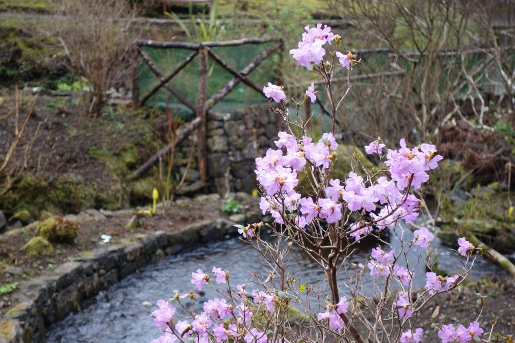 Dunvegan Castle water gardens