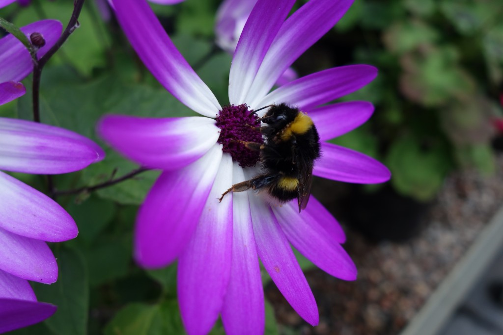 Bumble bees and blooms at Dunvegan Castle, Skye