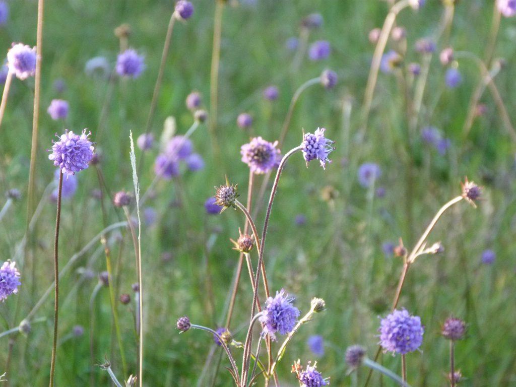 Wild flower meadow, Skye